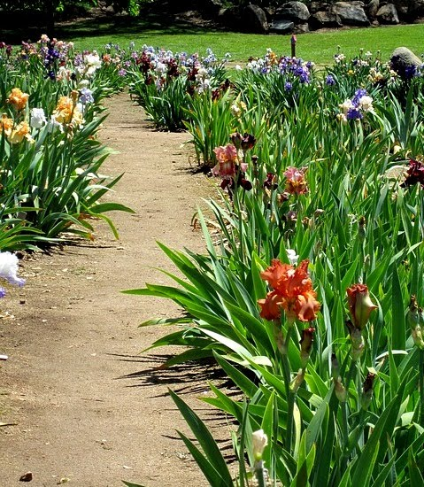 Bearded Irises by Garden Path