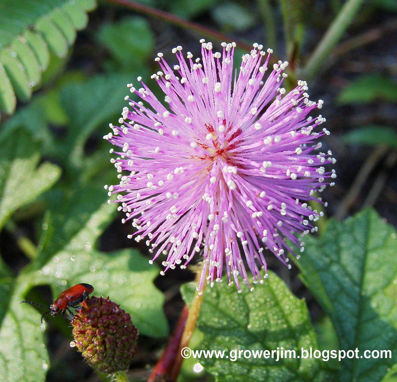 Garden Adventures: Sensitive plant (Mimosa pudica)