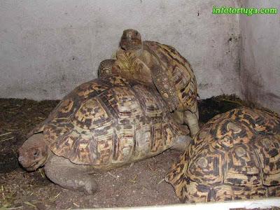 Tortugas leopardo durante la cópula