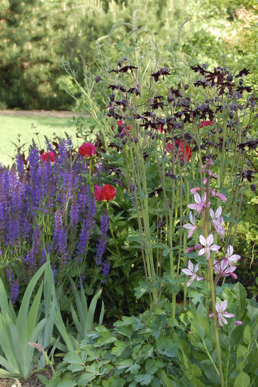 My weeds are very sorry black barlow and blaze i planted several columbines four years ago in yellows and purples and multi colors but the yellows and cream colors never came back izmirmasajfo Image collections