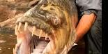 Τα δόντια του, 32 στον αριθμό, συναγωνίζονται με μεγάλη ευκολία αυτά του καρχαρία.  Στο Κονγκό δυο ψαράδες έπιασαν ένα πιράνχας 100 κιλών κ...