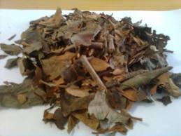 benalu teh,obat benalu teh,khasiat benalu teh