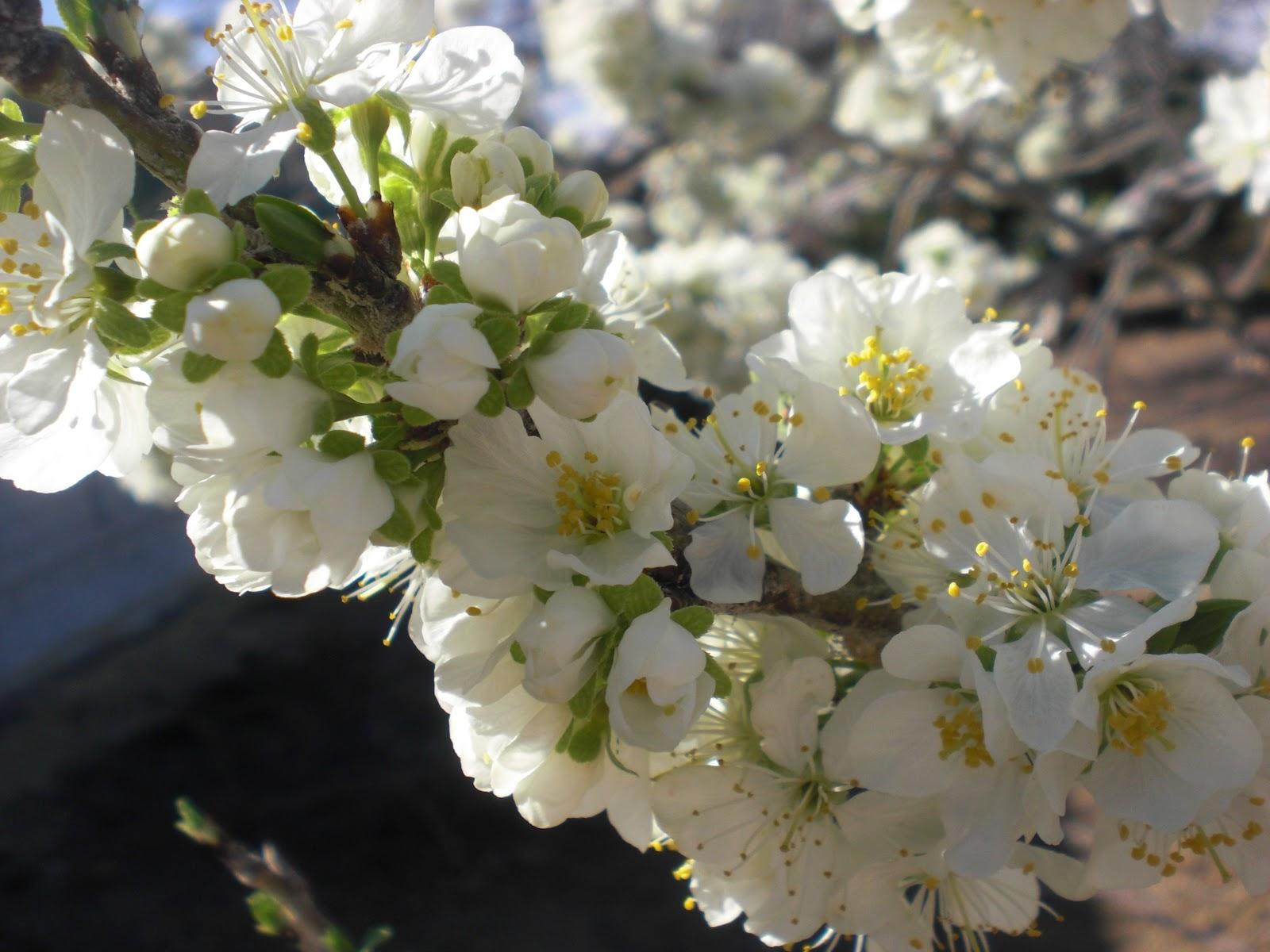Perfumes y luces de extremadura ciruelo prunus mis for Arboles frutales