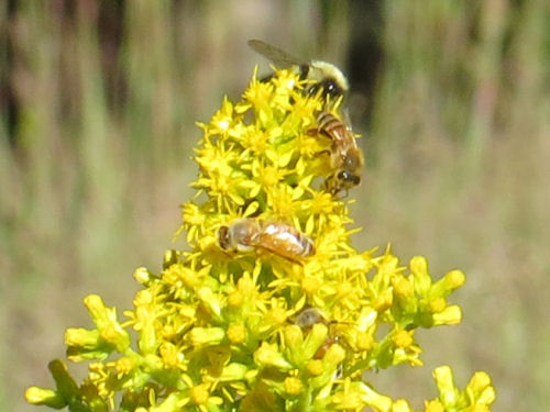 showy goldenrod