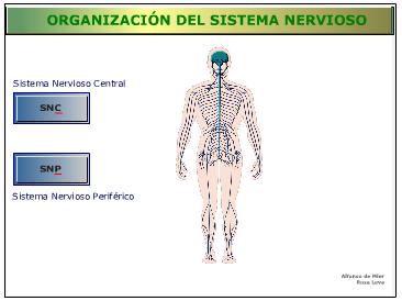 http://recursostic.educacion.es/secundaria/edad/3esobiologia/3quincena11/imagenes1/nervioso.swf