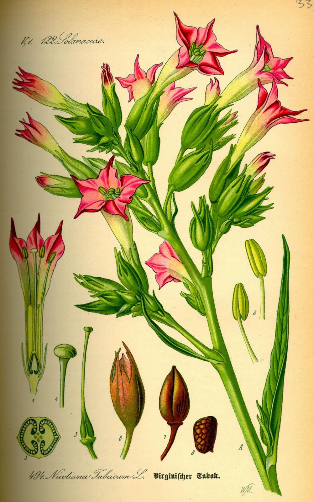 """Résultat de recherche d'images pour """"planches botaniques"""""""