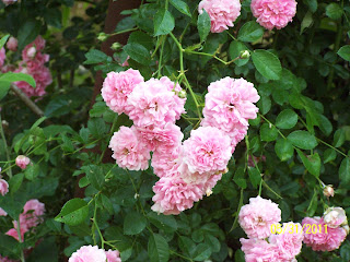 Jean the plant lady little blossoms big rose bush it has hundreds of small pink flowers in large clusters it is very hardy and if it is cut to the ground this year it will be back full force next spring mightylinksfo
