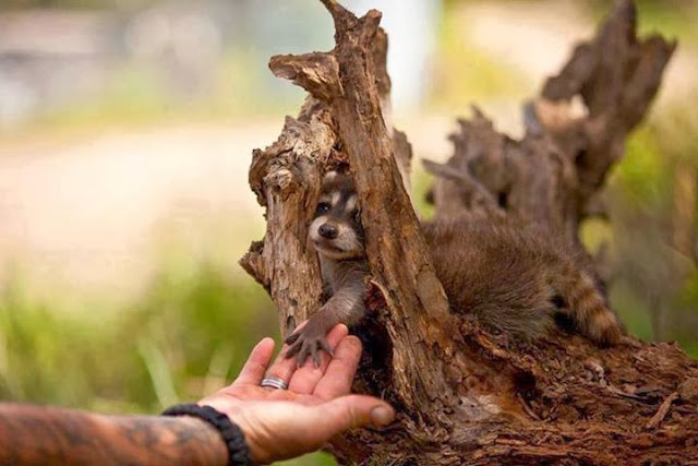 Funny animals of the week - 6 December 2013 (35 pics), baby raccoon holds human hand