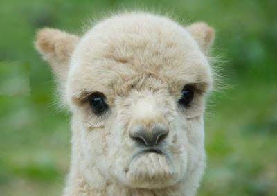 grumpy alpaca