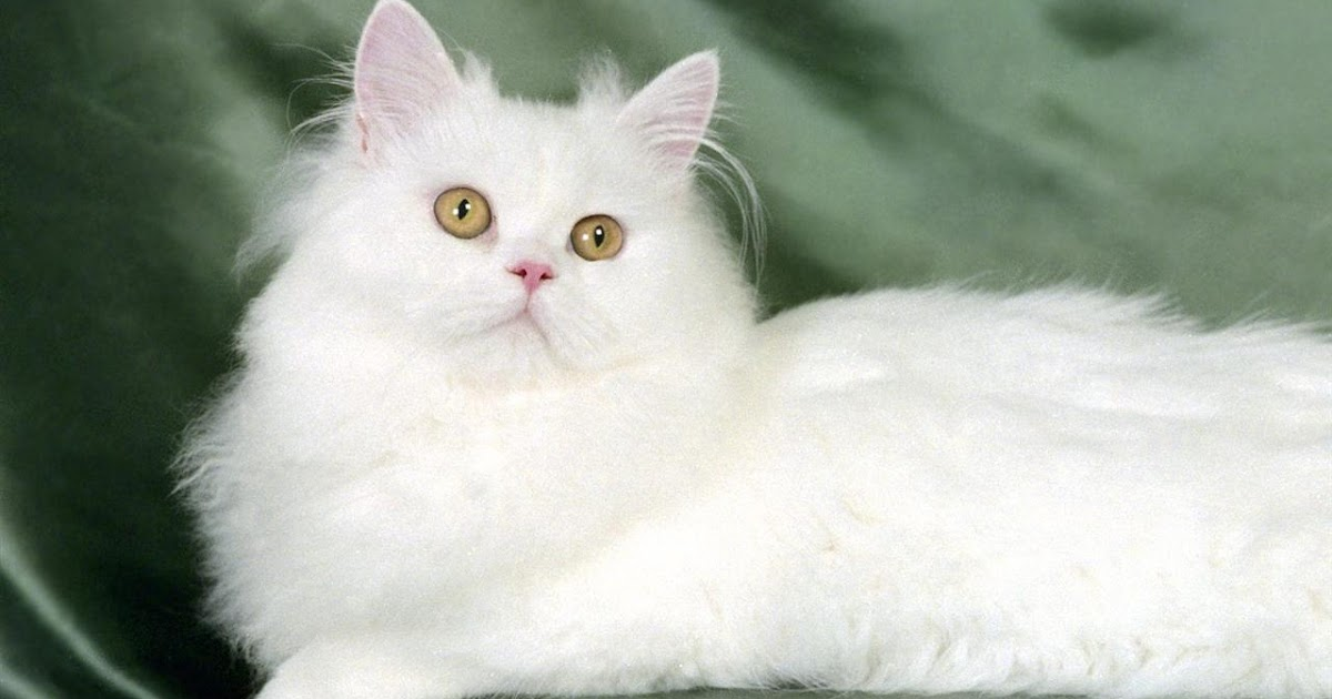 Gambar Kucing Putih godean.web.id