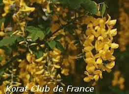Cytise ou Faux ébénier ou Cytise aubour ou Pluie d'or