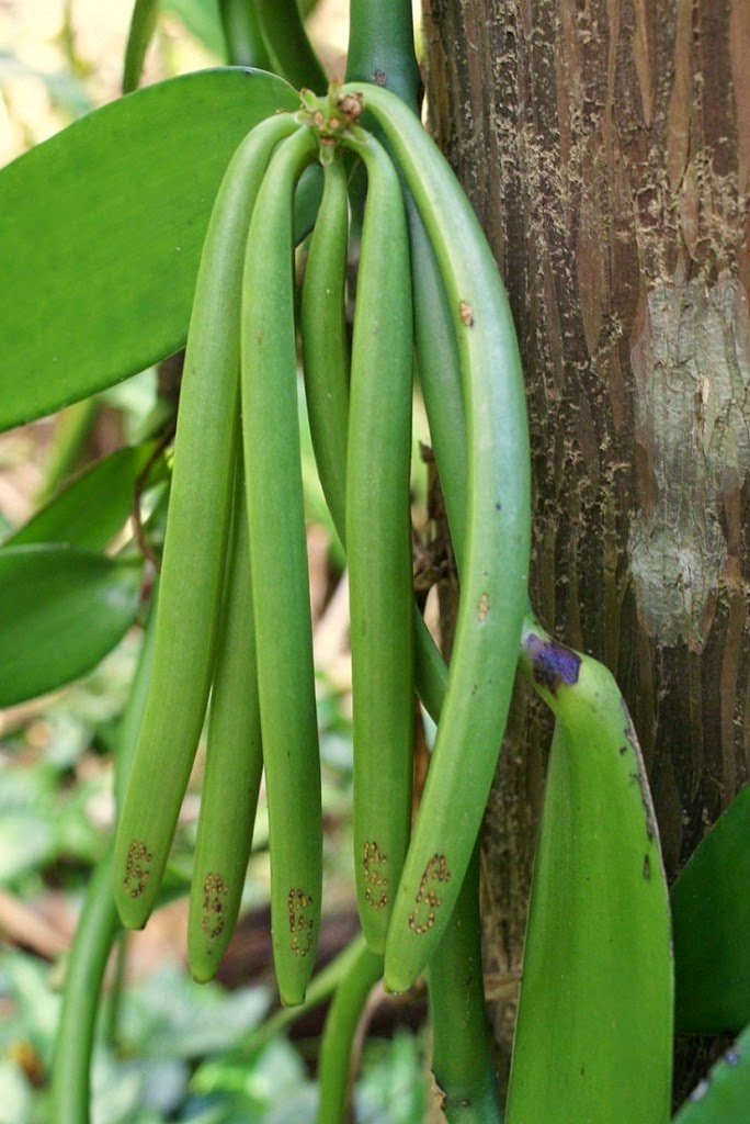 Do You Know What Your Favorite Foods Look Like While Growing - Fragrant vanilla, the second most expensive spice after saffron, hangs off of vines as well.