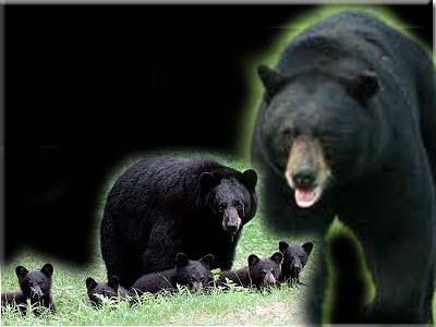 gambar_beruang_hitam_jantan_betina