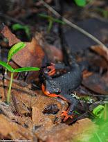 A Rare Salamander