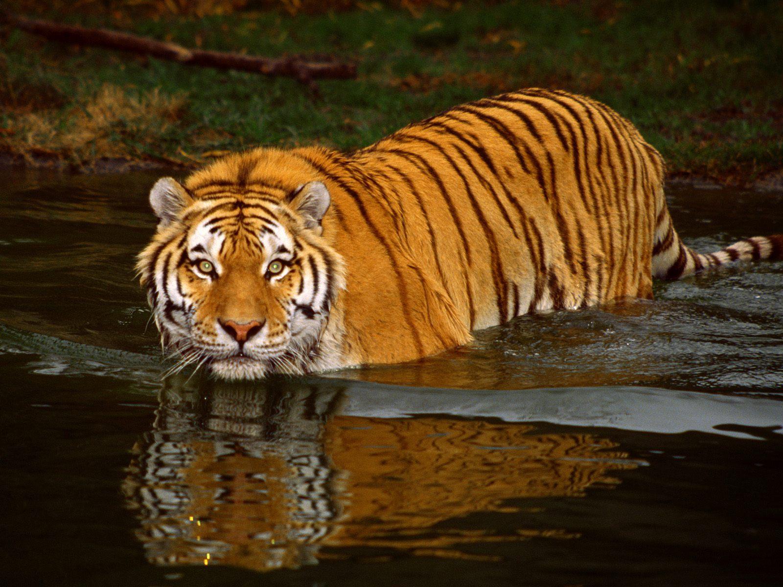 Webdesign für die neuen Breitbild Monitore PC Magazin - Hintergrundbilder Tiger Kostenlos