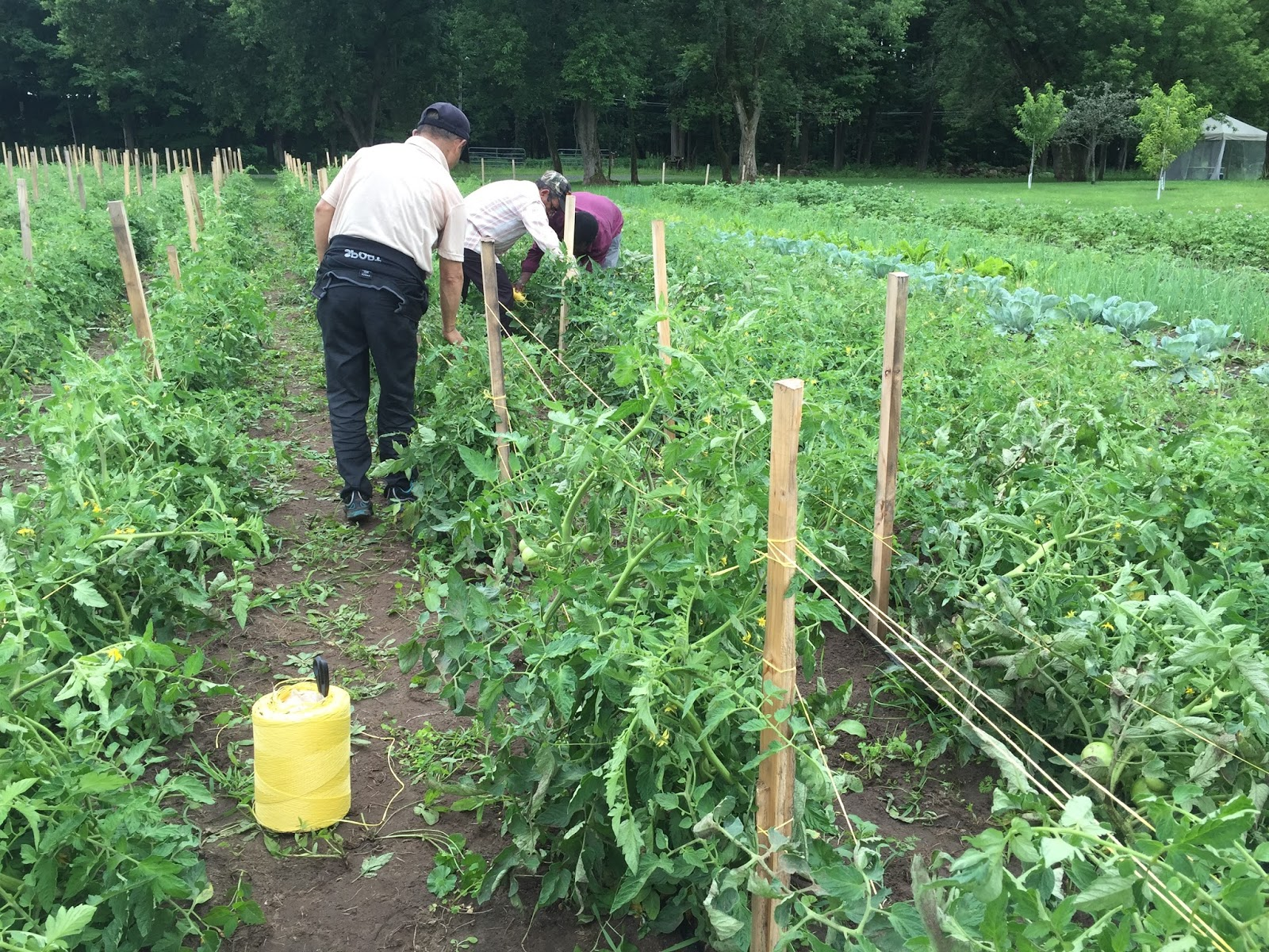 next week we re looking forward to more weeding trellising and harvesting plus a visit from a group of congolese farmers interested in learning more