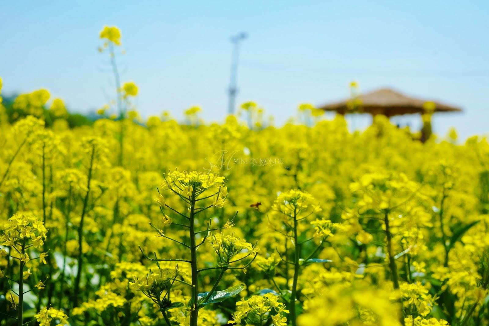 Guri Hangang Park Seoul Rapeseed Flower Festival 2015