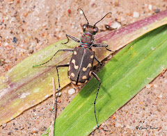 Western red-bellied tiger beetle