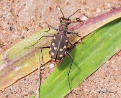 Western red-bellied tiger beetle