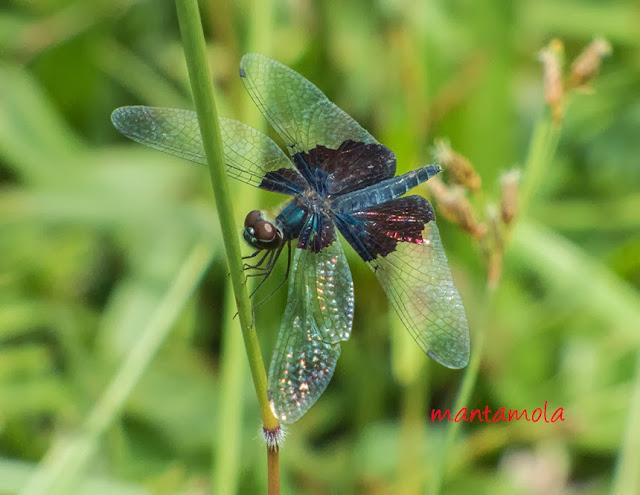 Rhyothemis triangularis (Sapphire Flutterer)