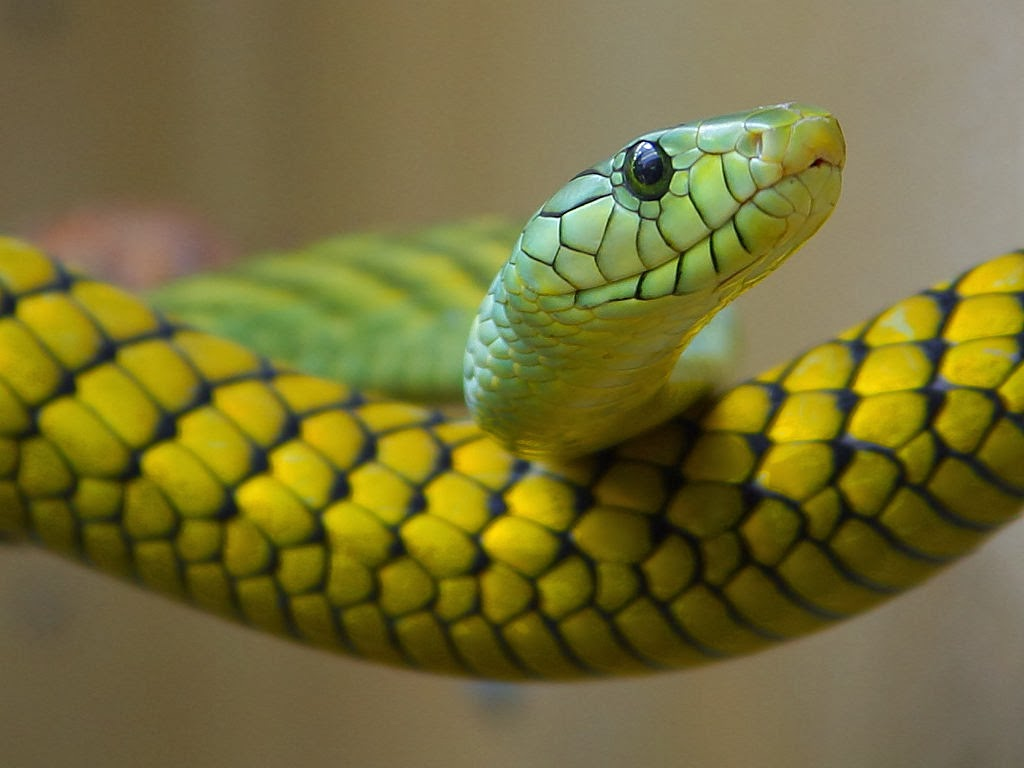 black Background Simple Snake Animals Reptile Yellow Branch