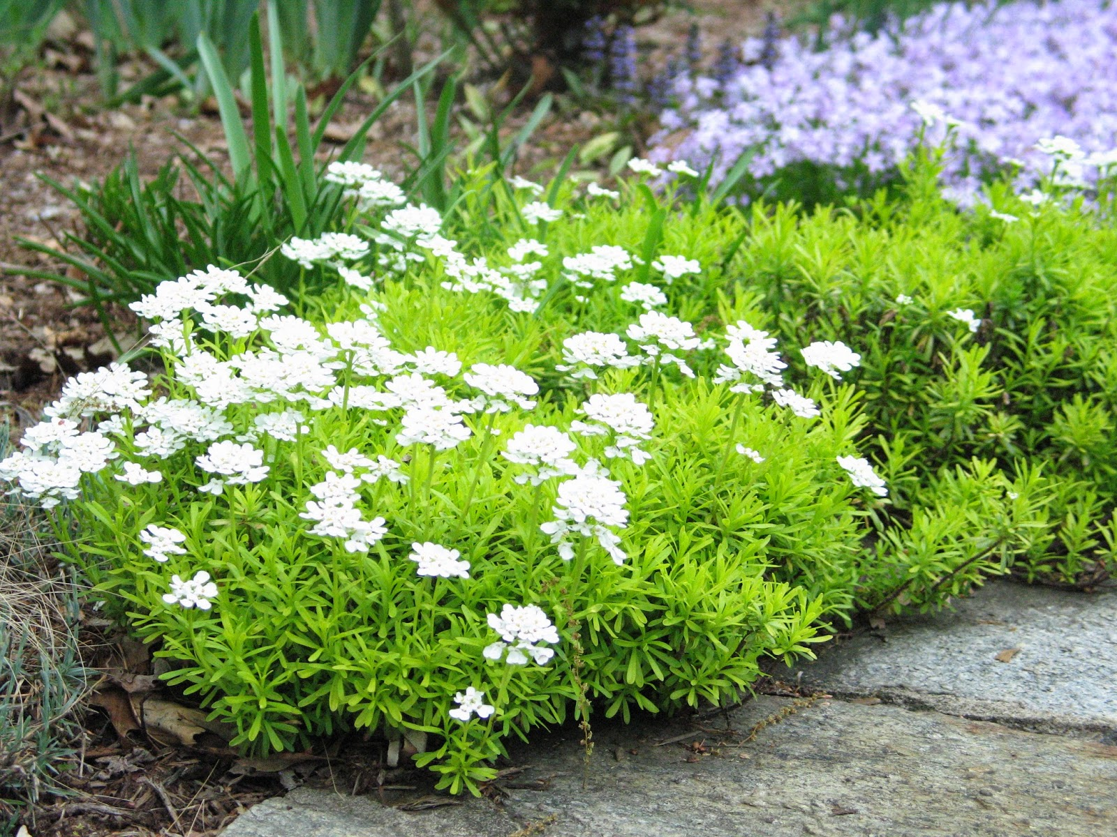 Idyll haven may 2014 for Iberis sempervirens