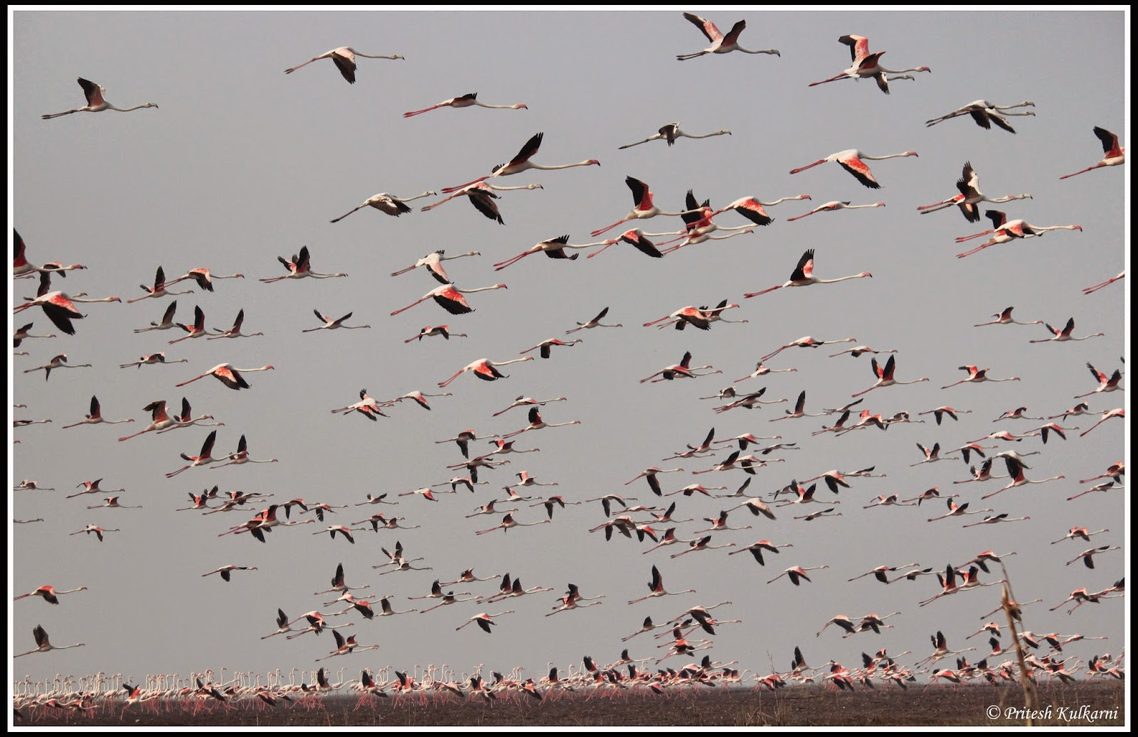 Only greater flamingo