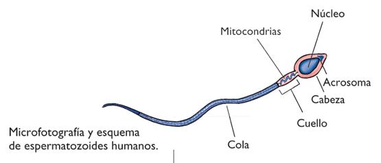 inventor celula humana: