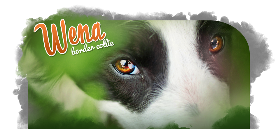 Wena - Border Collie