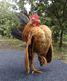 Foto Ayam Serama Bagus
