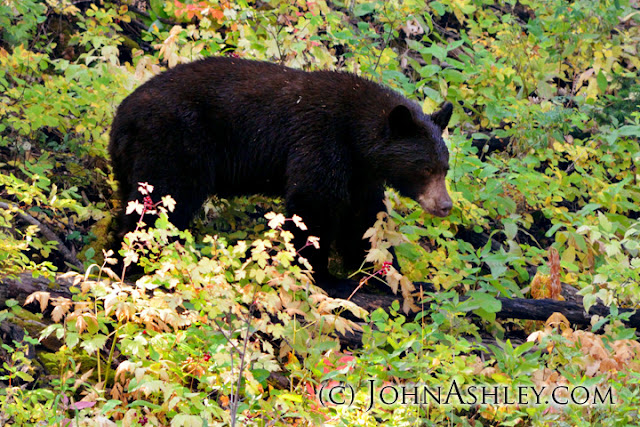 Fall black bear (c) John Ashley