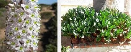 squill dangerous herbs