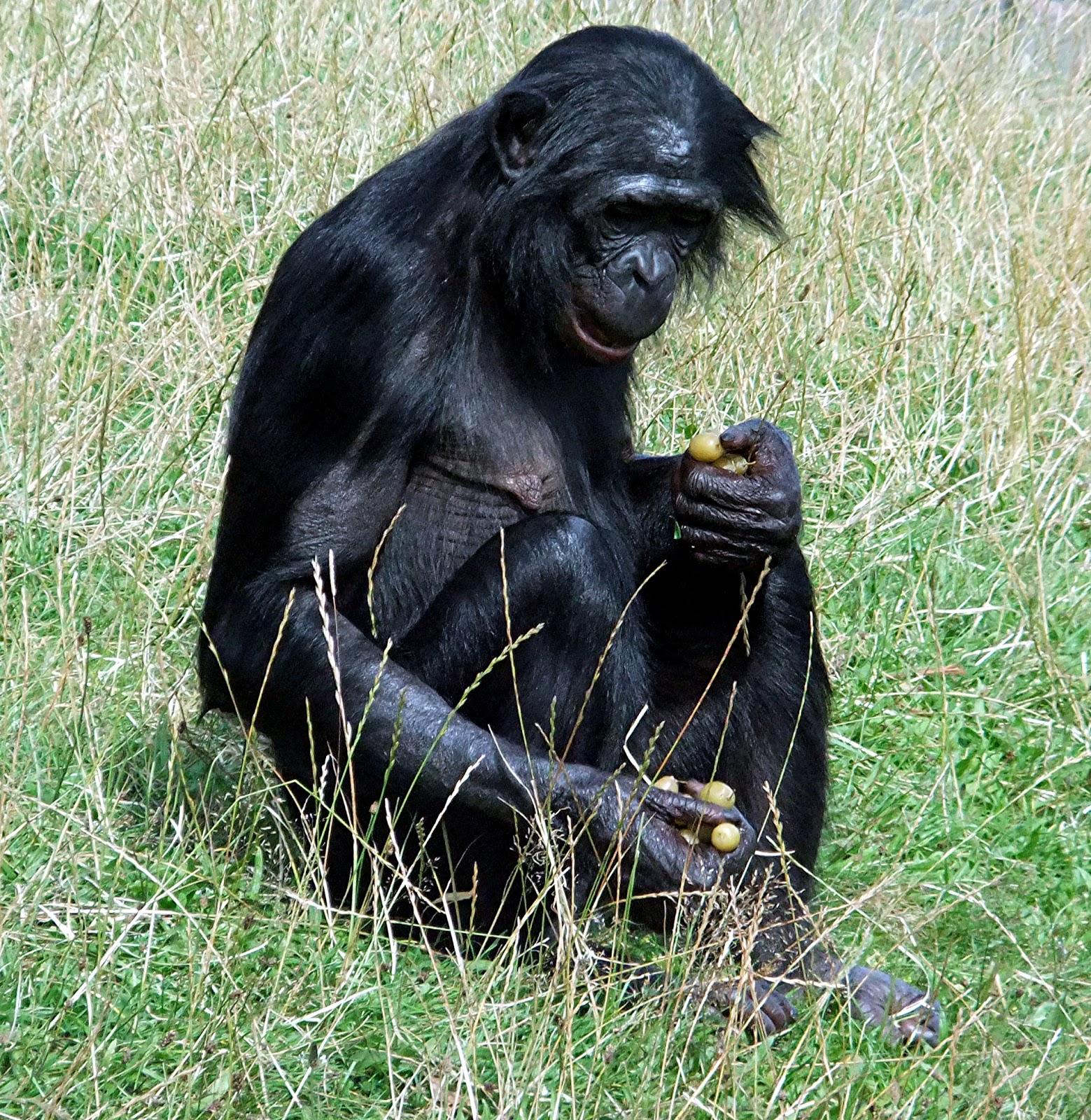 galleries related yerkes humanzee real human hybrid oliver chimpanzee ... Yerkes Humanzee