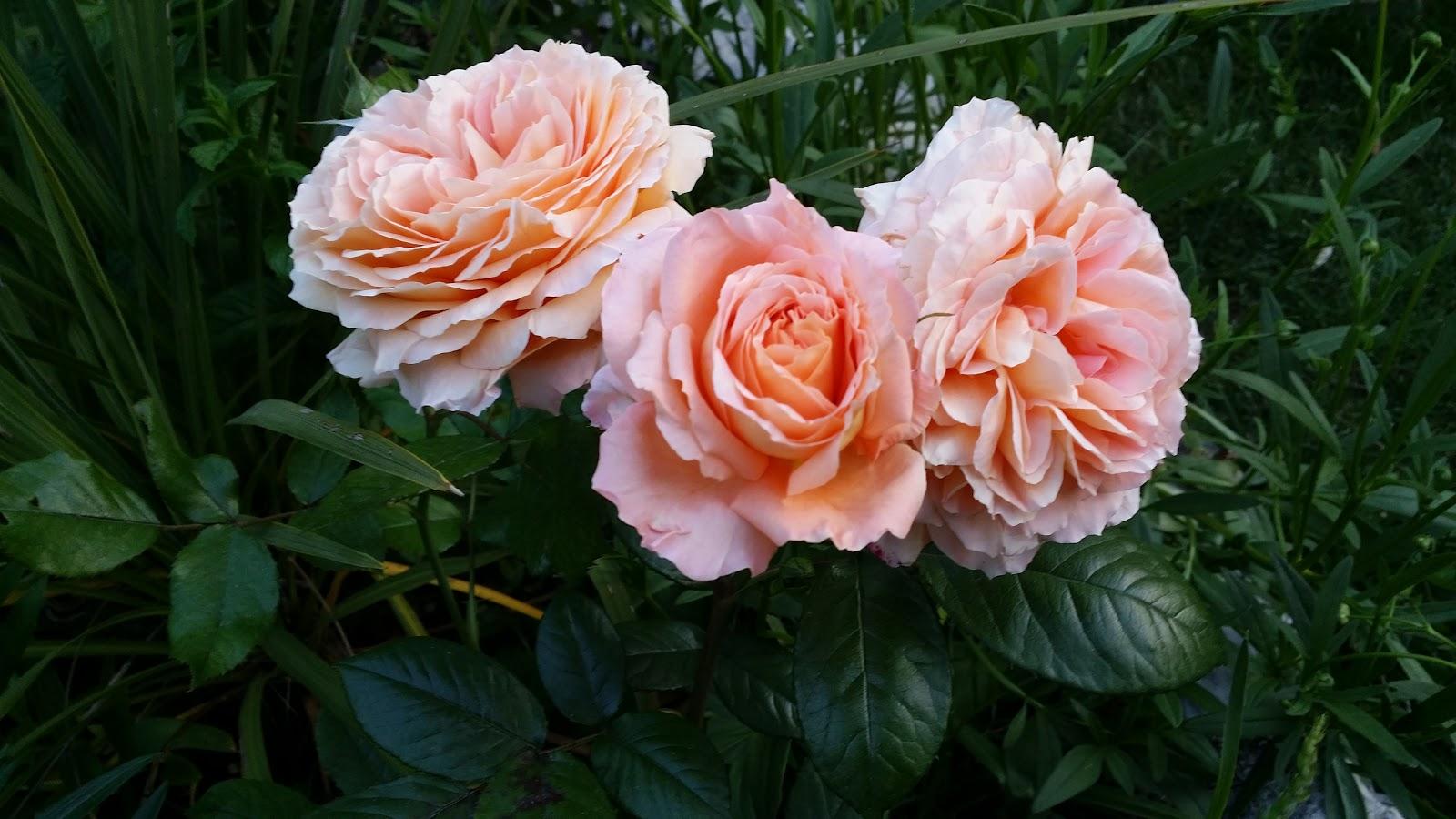 rosier Belveder