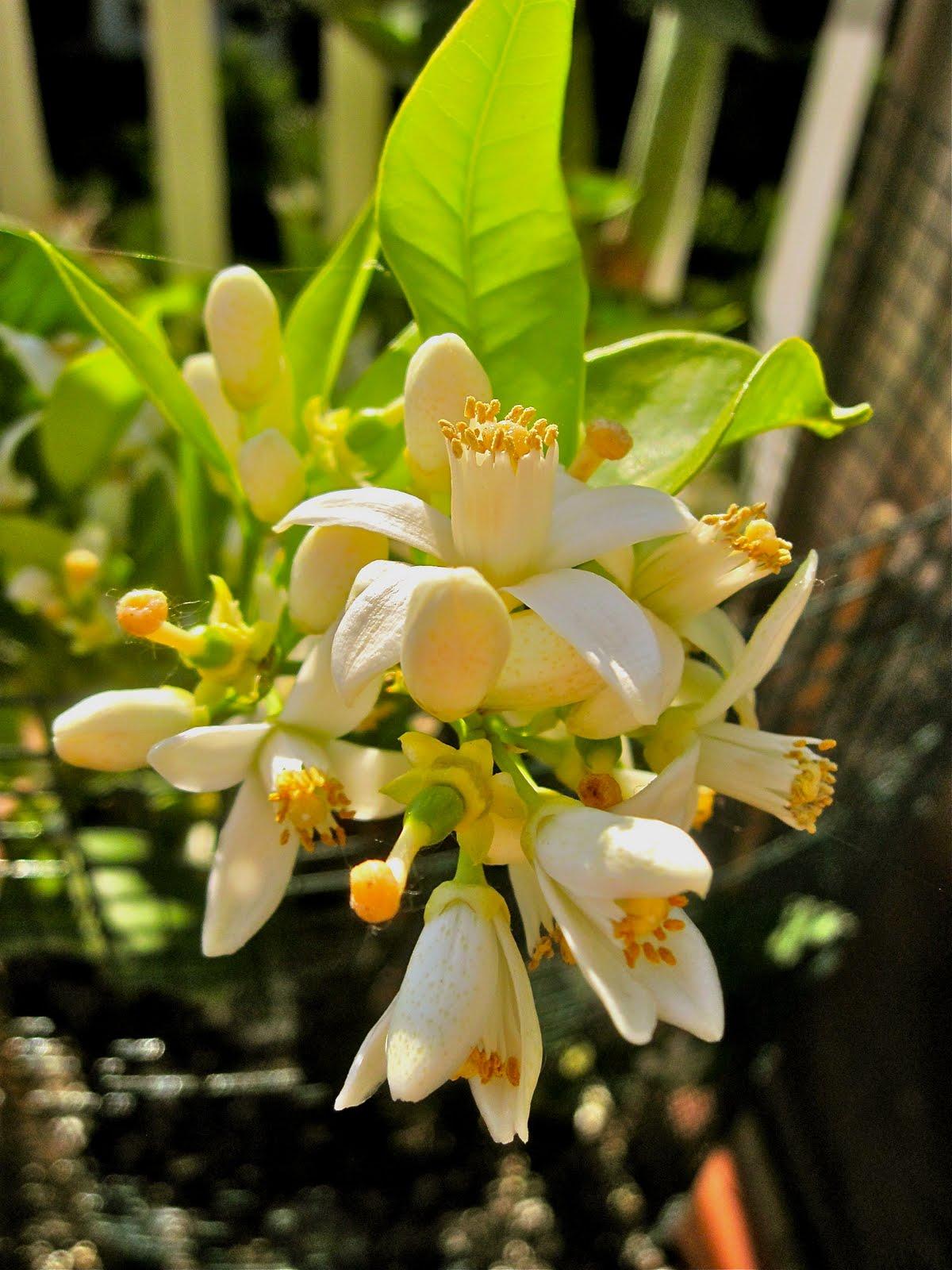 Pin Pianta-grassa-con-fiori-gialli-img-1675jpg on Pinterest