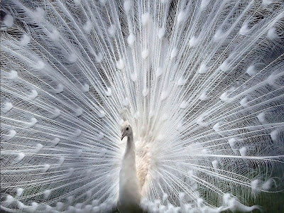 hd-free-download-beautiful-peacock imagesoflove