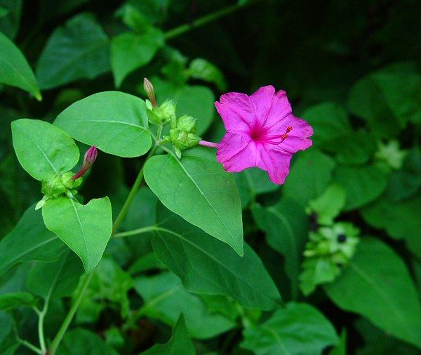 Image result for budidaya bunga ashar