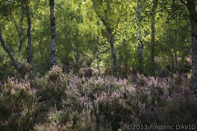 bruyère matin arbre sous-bois forêt Fontainebleau Seine-et-Marne
