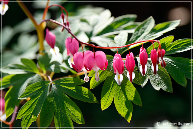 Pink Dicentra Spectabilis (Bleeding Hearts) Flowers