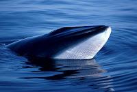 """Caça de baleias no Japão é """"economicamente inviável"""", diz relatório"""