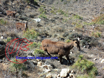 Animal in Sagarmatha National Park