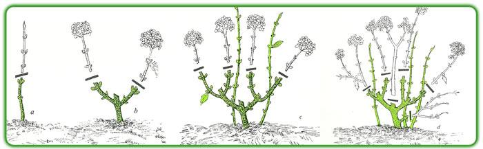 Pollici rosa di rare piante dubbi sulla potatura for Potatura delle rose