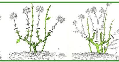 pollici rosa di rare piante: dubbi sulla potatura??