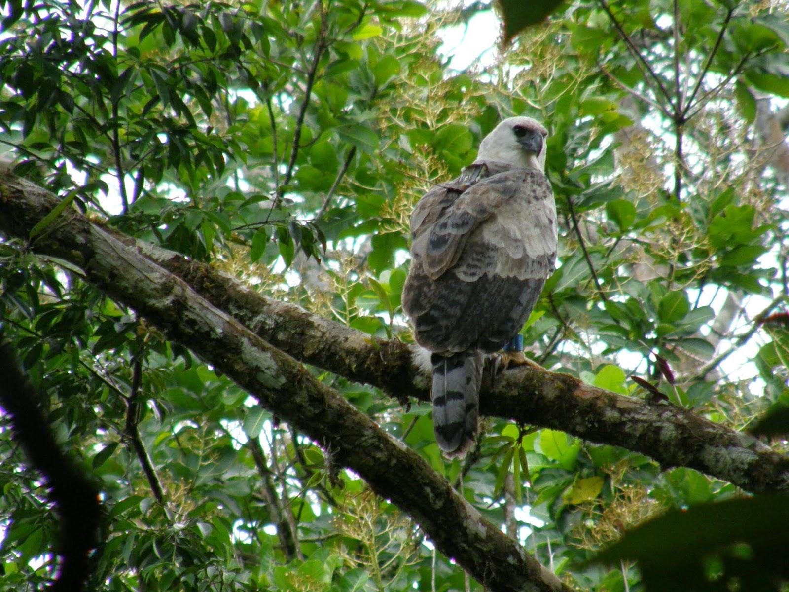 Harpy Eagle Panama