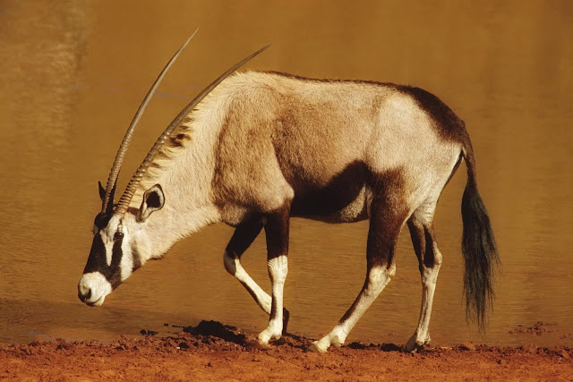 19090-Gemsbok Animal HD Wallpaperz