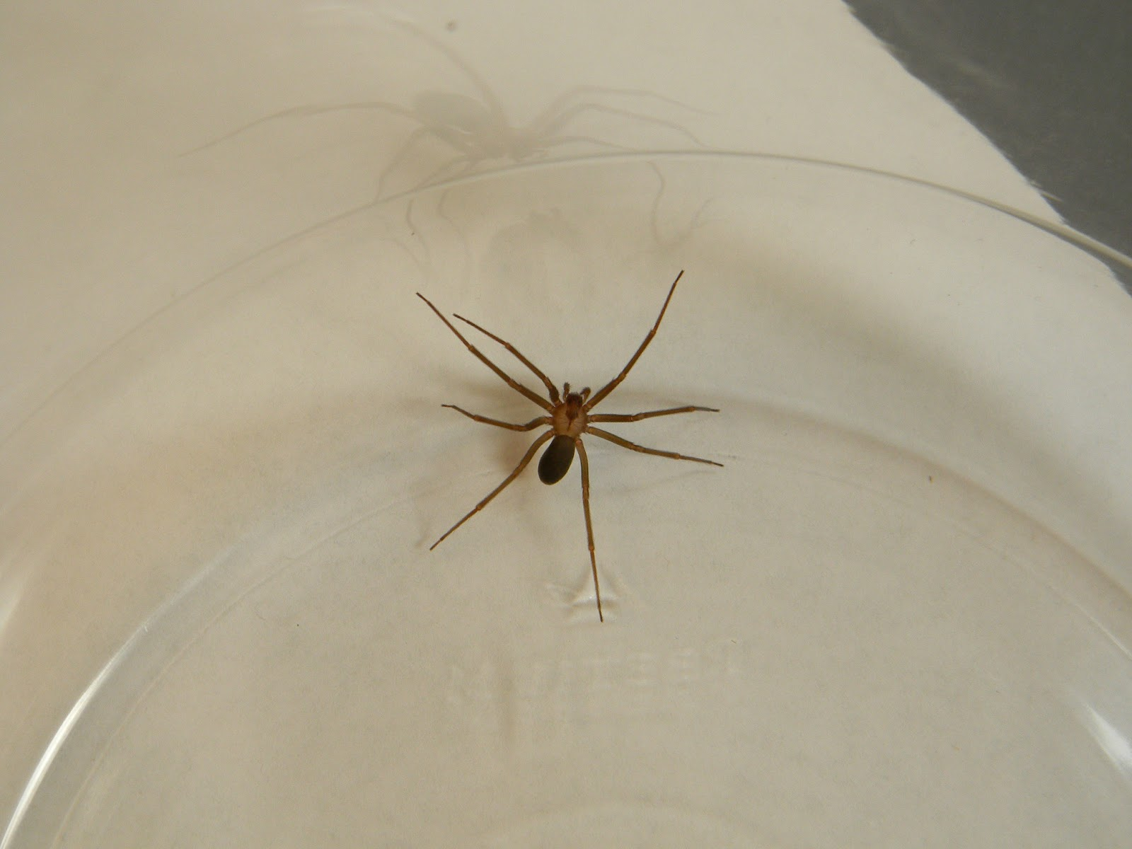 Brown recluse michigan pictures