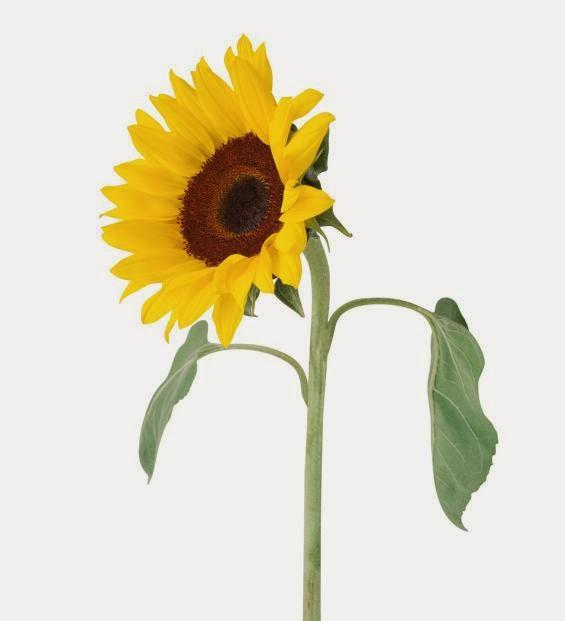 Foto Bunga Matahari untuk Pacar di Hari Valentine Day 2014