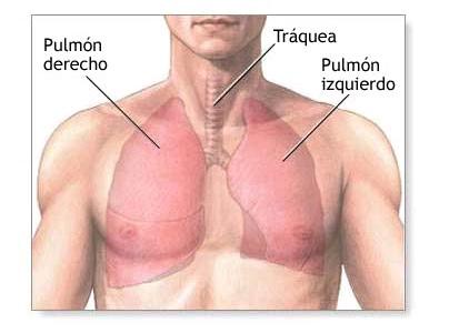 Biología Humana: SISTEMA RESPIRATORIO: Tracto respiratorio inferior