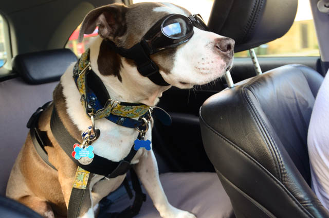 Ever Since Weve Heard Stories Like This Made Sure That Even Our Dogs Are Buckled Up When Were In The Car Has Also Been Helpful Driving