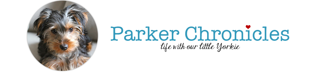 Parker Chronicles | A Yorkie Blog